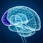 prefrontal cortex in brain